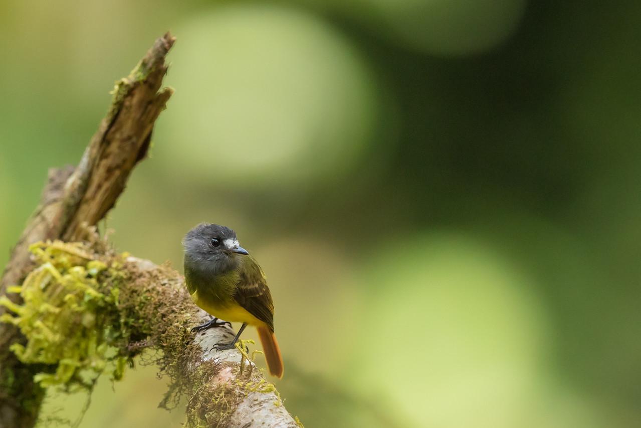 Ornate Flycatcher - Record - Sumaco, Ecuador