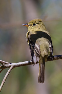 Pacific-slope Flycatcher - San Luis Obispo, CA, USA