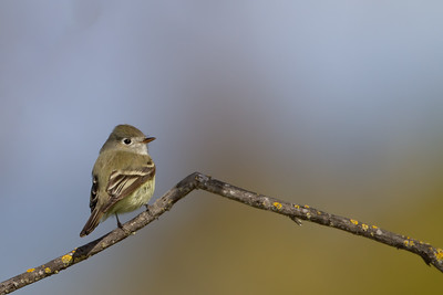 Pacific-slope Flycatcher - Fremont, CA, USA