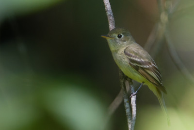 Pacific Slope Flycatcher - Half Moon Bay, CA, USA