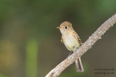 Pacific Slope Flycatcher - Yosemite National Park, CA, USA
