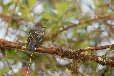 Pale-edged Flycatcher - Napo, Ecuador
