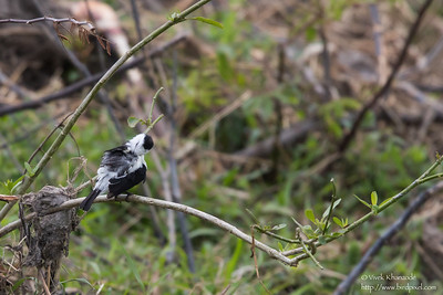 Pied Water-Tyrant - Record - Aripo Agricultural Station, Trinidad