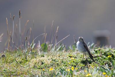Plain-capped Ground-Tyrant - Record - Antisana Ecological Preserve, Ecuador