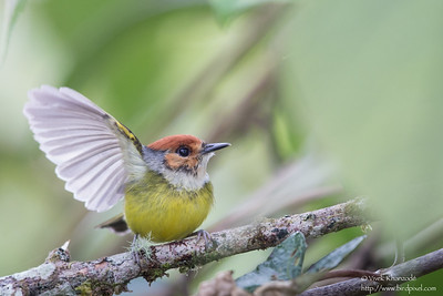 Rufous-crowned Tody-Flycatcher - San Isidro Lodge, Ecuador