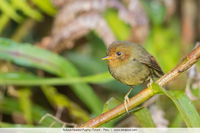 Rufous-headed Pygmy-Tyrant - Peru