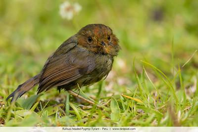 Rufous-headed Pygmy-Tyrant - Peru
