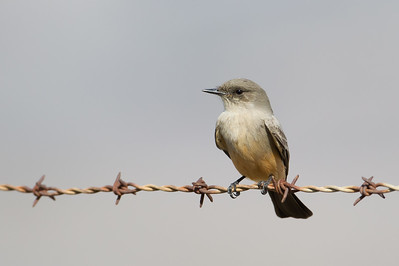 Say's Phoebe - San Benito County, CA, USA