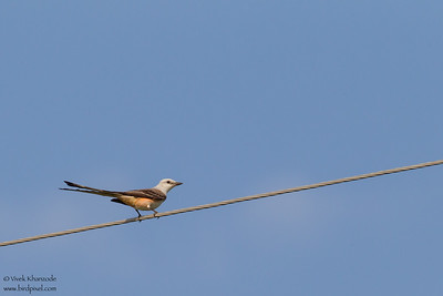 Scissor-tailed Flycatcher - Mission, TX, USA