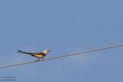 Scissor-tailed Flycatcher - Mission, TX, USA