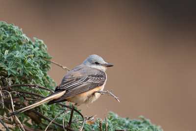 Scissor-tailed Flycatcher - Half Moon Bay, CA, USA