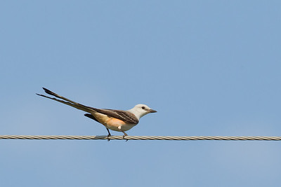 Scissor-tailed Flycatcher - Bentsen - Record - Rio Grande Valley State Park, Mission, TX, USA