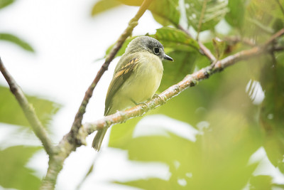 Slaty-capped Flycatcher - Record - Sumaco, Ecuador