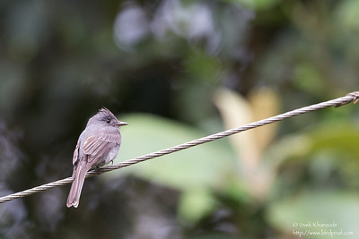 Smoke-colored Pewee - San Isidro Lodge, Ecuador