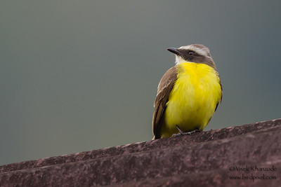 Social Flycatcher - Record - Amazonia Lodge, Nr. Manu National Park, Peru