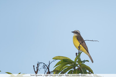 Social Flycatcher - Hidden Valley Inn & Reserve, Belize