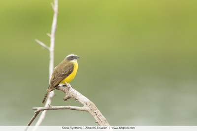 Social Flycatcher - Amazon, Ecuador
