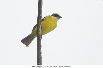 Social Flycatcher - Crooked Tree, Belize