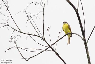 Social Flycatcher - Record - Mindo, Ecuador