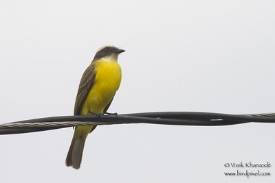 Social Flycatcher - Record - Costa Rica