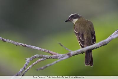 Social Flycatcher - Pedro Miguel, Colon, Panama