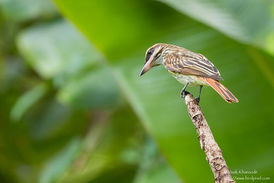 Streaked Flycatcher - Gilpin Trace, Tobago