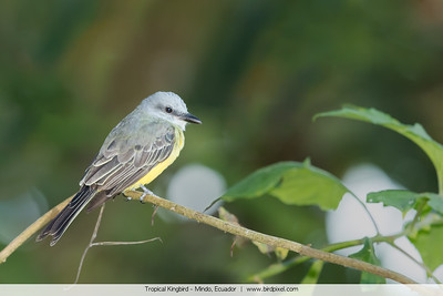Tropical Kingbird - Mindo, Ecuador