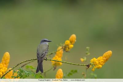 Tropical Kingbird - Crooked Tree, Belize