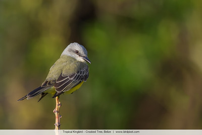 Tropical Kingbird - Crooked Tree, Belize