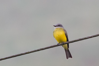 Tropical Kingbird - Selva Verde, Costa Rica