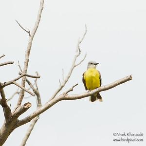 Tropical Kingbird - Estero Llano Grande State Park, Weslaco, TX, USA