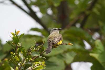 Tropical Kingbird - Arenal, Costa Rica