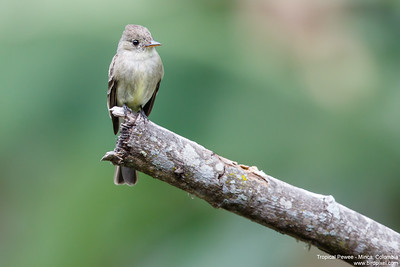 Tropical Pewee - Minca, Colombia