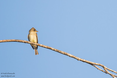 Tropical Pewee - Hidden Valley Inn & Reserve, Belize