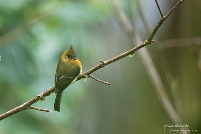 Tufted Flycatcher - Cabanas Los Quetzales, Guadalupe, Panama