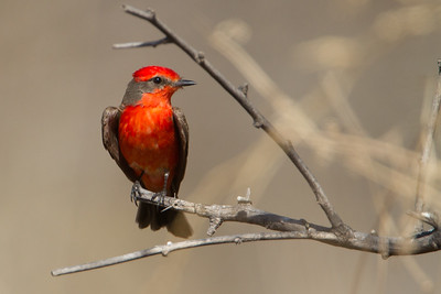 Vermillion Flycatcher - Male - San Pedro House, Sierra Vista, AZ, USA
