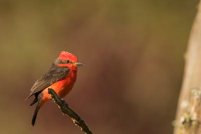 Vermilion Flycatcher - Puembo, Ecuador