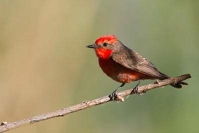 Vermillion Flycatcher - Male - Patagonia Lake State Park, Patagonia, AZ, USA