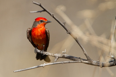 Vermillion Flycatcher- San Pedro House, Sierra Vista, AZ, USA
