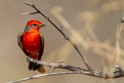 Vermillion Flycatcher - Sierra Vista, AZ, USA
