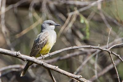 Western Kingbird - Patagonia Lake State Park, Patagonia, AZ, USA