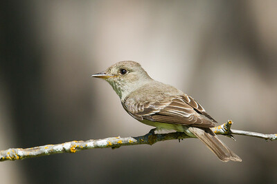 Western Wood Pewee - Yosemite National Park, CA, USA