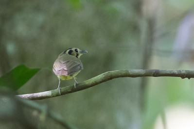 White-throated Spadebill - Record - Osa, Costa Rica