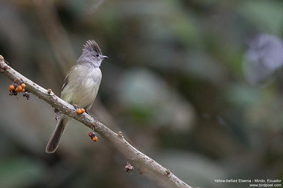 Yellow-bellied Elaenia - Mindo, Ecuador