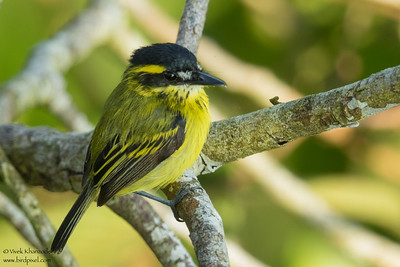 Yellow-browed Tody-Flycatcher - Amazon, Ecuador