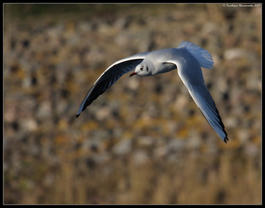 Black-headed gull, Portsmouth, England, UK, December 2009