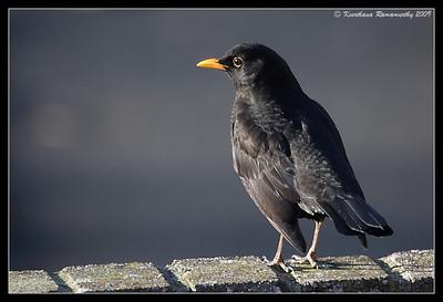 Eurasian Blackbird Male, Portsmouth, England, UK, December 2009
