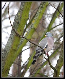 Woodpigeon, Portsmouth, England, UK, December 2009