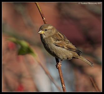 House Sparrow Female, Portsmouth, England, UK, December 2009