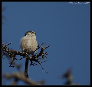Long-tailed Tit, Portsmouth, England, UK, December 2009